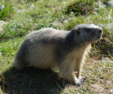 Marmots are plentiful