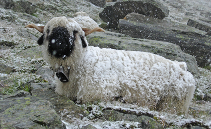 Mountain sheep in Switzerland